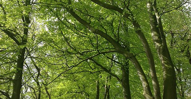 Riis skov
