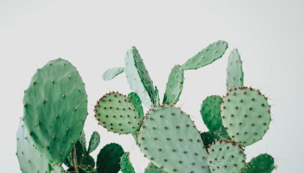 billeder af kaktus